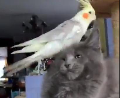 Papużka starała się zdenerwować wielkiego kota. Reakcja zwierzaka odbiera mowę, wszystko się nagrało