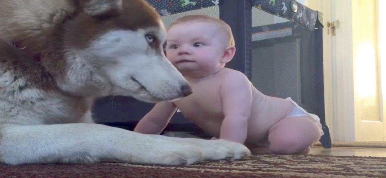 Małe dziecko zbliżyło się do wielkiego psa. Reakcja pupila była jedyna w swoim rodzaju, wszystko się nagrało