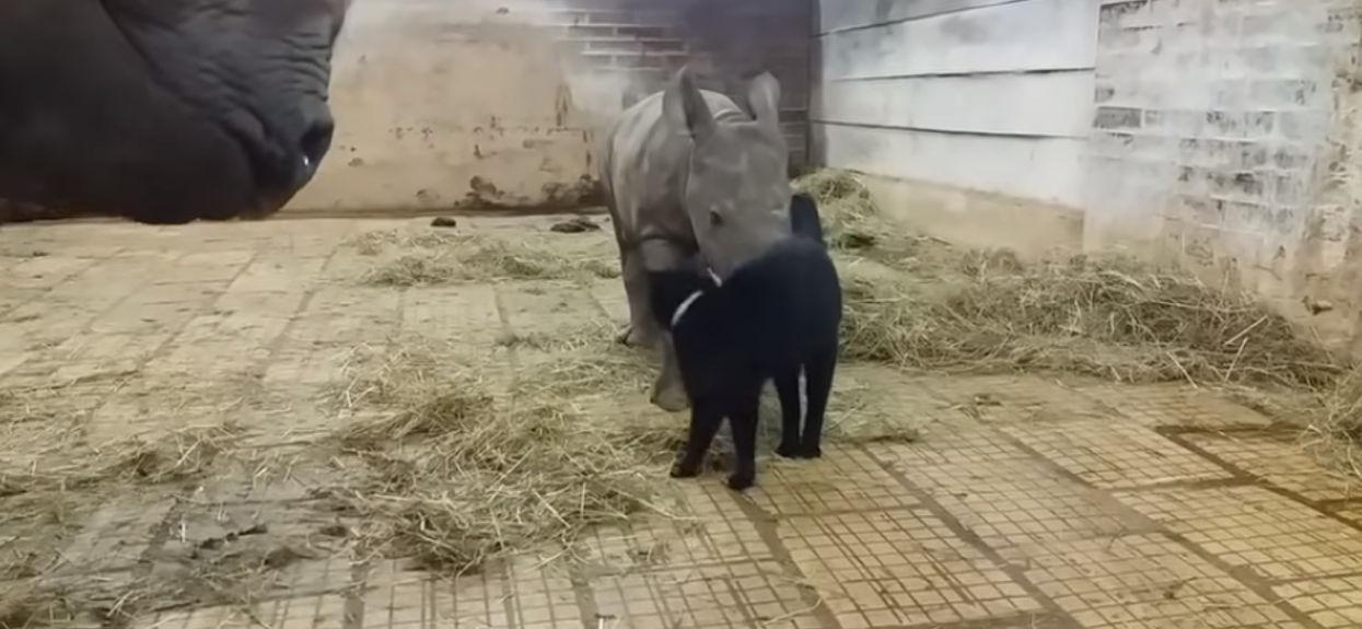 Kot nagle podszedł do nosorożca. Reakcja zwierzęcia nie mieści się w głowie, wszystko się nagrało