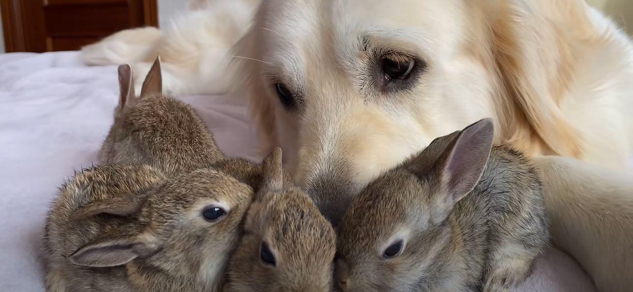Króliczki myślą, że pies jest ich mamą. Niewiarygodne, jak je potraktowała, najsłodsze nagranie