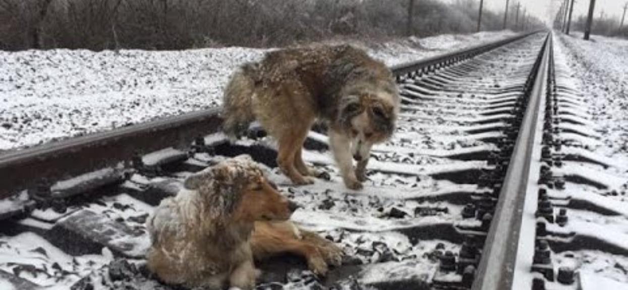 Psy leżały na torach kolejowych