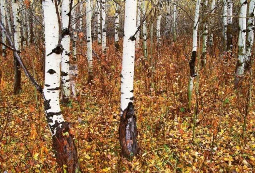 Czy potrafisz wypatrzeć skrytego w lesie wilka? 95% osób od razu się poddaje