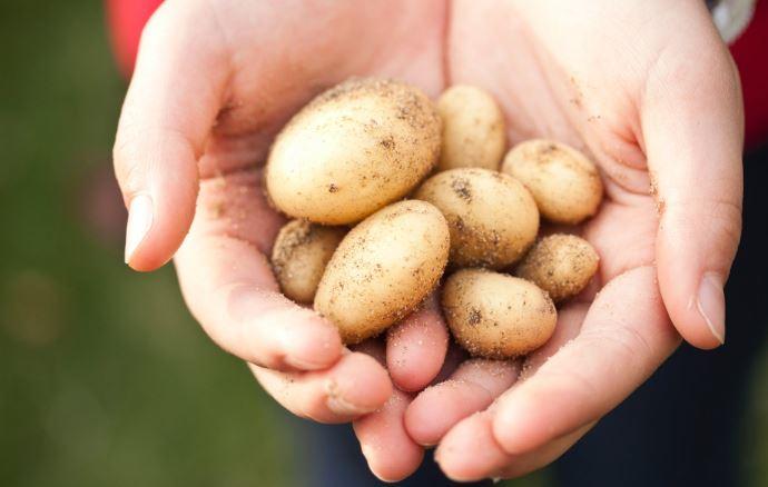 Uwaga, sklepy mogą oszukiwać na młodych ziemniakach. Trzeba uważać na 3 kluczowe rzeczy, aby nie dać się nabrać