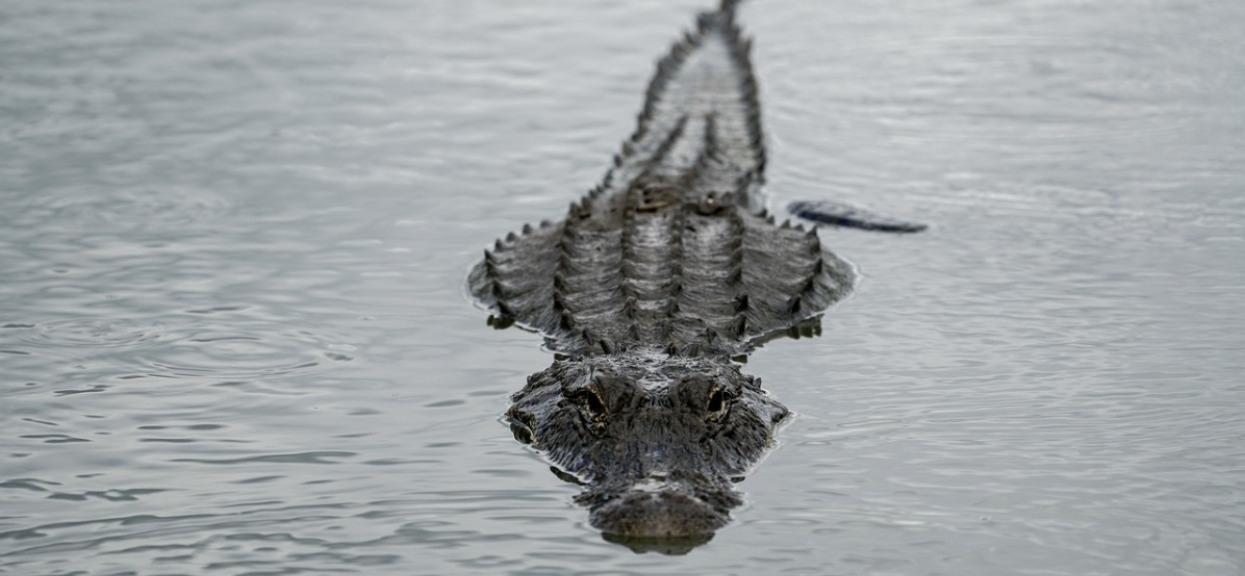 58-latka chciała dotknąć aligatora. Ujawniono jej ostatnie słowa, chwilę potem już nie żyła