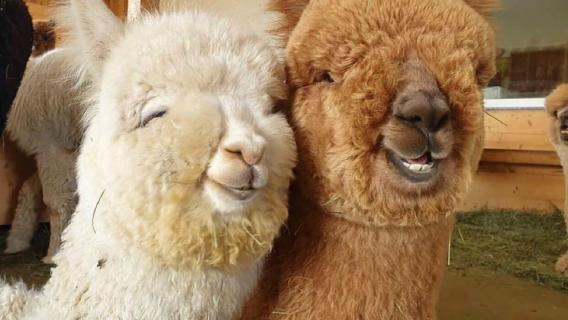 Alpaki uśmiechają się