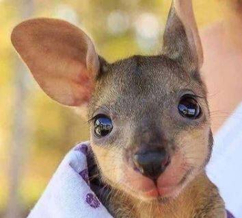 Kangurek piękne oczy