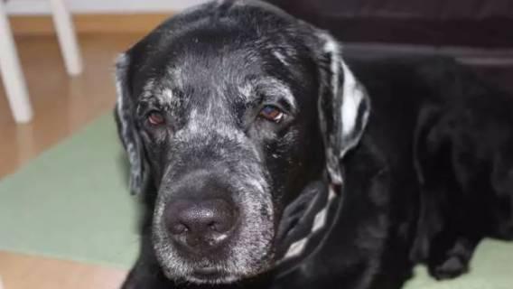 Labrador - zmiana sierści