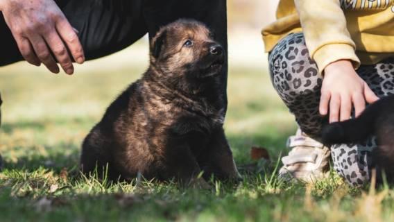 Pies, adopcja