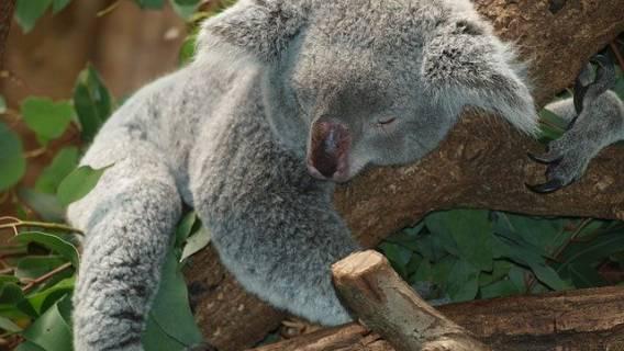 Senność po posiłku, koala