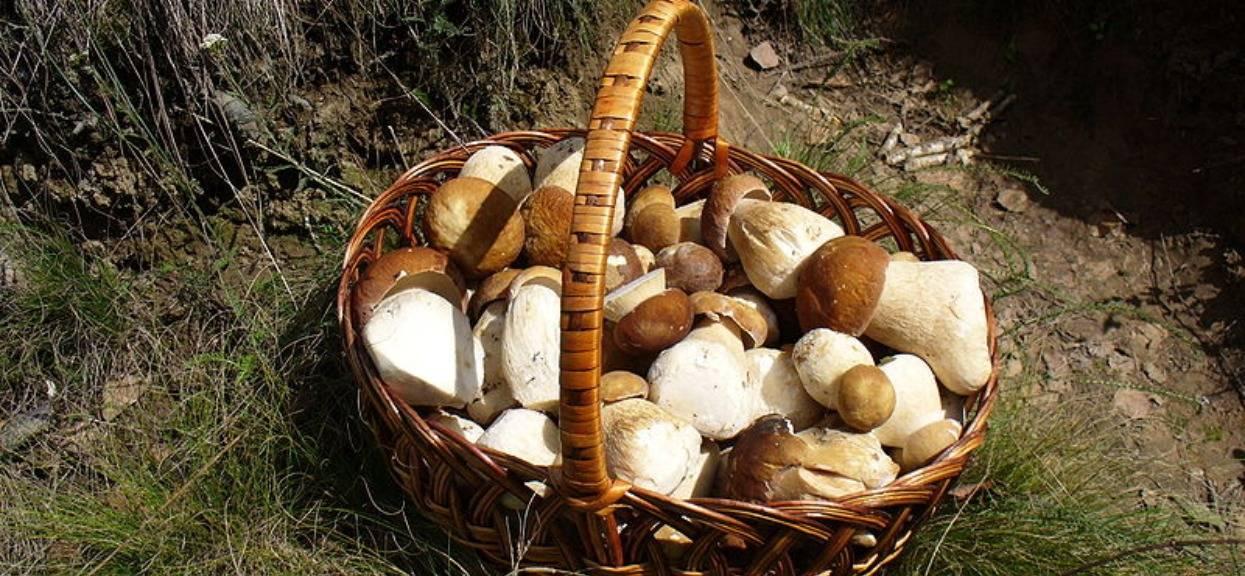 Wysyp grzybów powalających swoją wielkością. Specjalista zdradził, gdzie konkretnie jest ich najwięcej, lepiej się pospieszyć