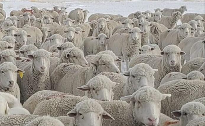 Na zdjęciu wśród owiec chowa się pies. Tylko 5% osób jest w stanie go odnaleźć