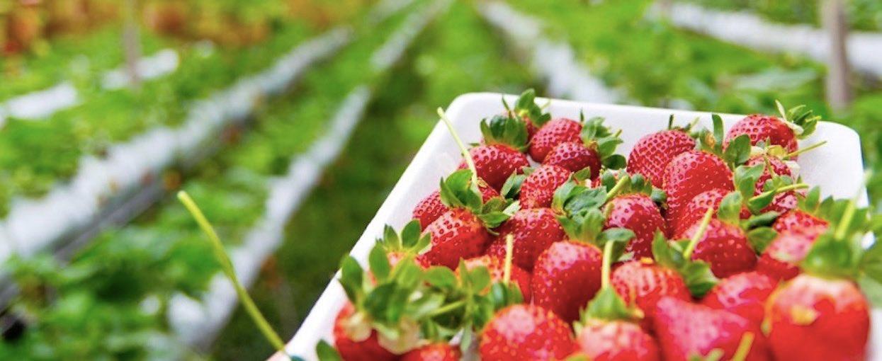 Hodowcy się poddają, można wejść na ich pole i za darmo uzbierać sobie truskawek, malin czy ogórków
