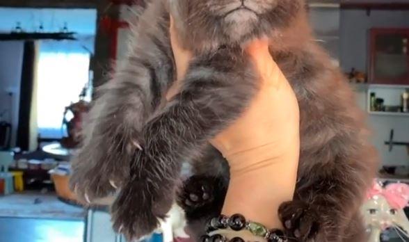Wygląda przerażająco i niezwykle jednocześnie. Kot z ludzką twarzą naprawdę istnieje