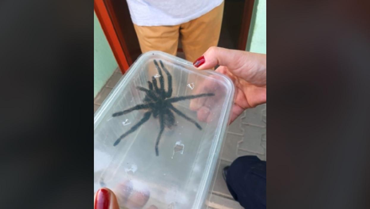 Gigantyczny pająk nagle pojawił się w mieszkaniu. Mieszkańcy natychmiast wezwali pomoc
