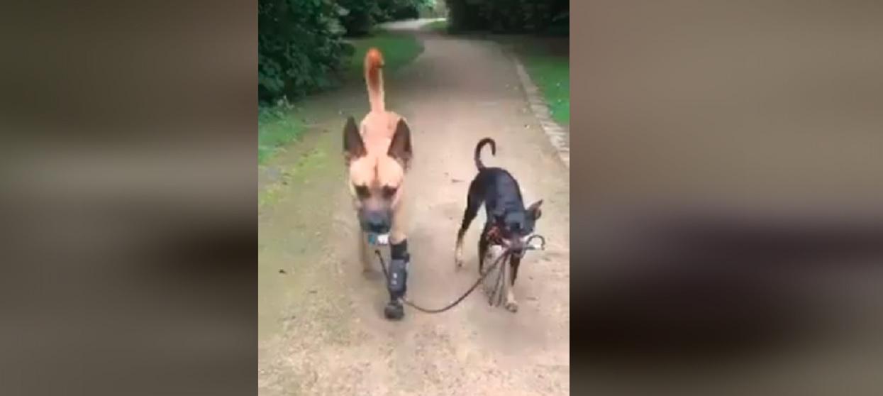 Piękny widok. Piesek wyprowadza na spacer swojego niepełnosprawnego przyjaciela