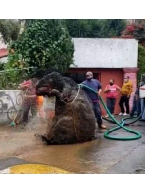 Gigantyczny szczur został wyciągnięty z kanalizacji. Gdy poznali prawdę, zamarli