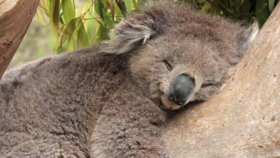 Dobranoc życzy koala