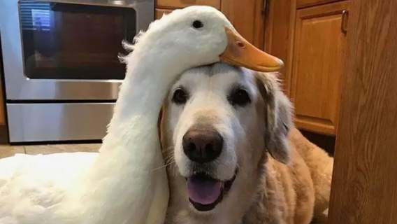 Pies i kaczor