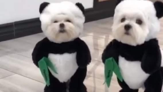 Pieski przebrane za pandy